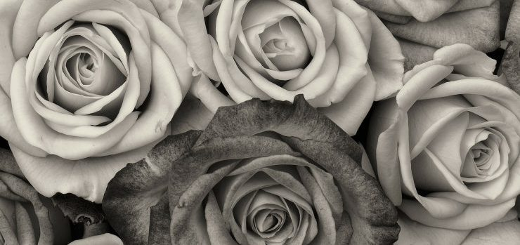 Black and white photo of roses
